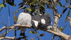 White-breasted Woodswallow, trio of siblings from last brood roosting on the same tree, perched preening, dift angle, closer 2, matches with 1
