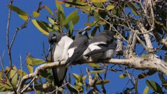 White-breasted Woodswallow, trio of siblings from last brood roosting on the same tree, perched preening, third right turns to the front, close