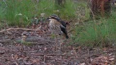 Bush Stone-curlew, one sleeping laid down, the other resting, both stand up and walk out of frame