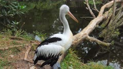 Australian Pelican, perched resting, wide nearby