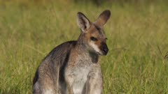 Red-necked Wallaby, medium shot, late afternoon, chewing, side