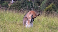 Red-necked Wallaby, female with joey in pouch grazing, alarmed raises to check the danger, then continues grazing, 2 out of 4