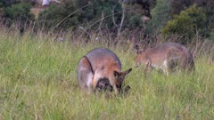 Red-necked Wallaby, female with joey in pouch, looks right several times, moves to the right of the frame, expulses the joey out, flees and the joey goes after her,  4 out of 4