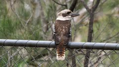 Laughing Kookaburra perched on fence, hits the top with the beak to expel solid parts of prey, flees