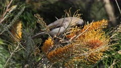 Noisy Miner feeding on  Grevillea flowers, on the alert for intruders,  2 out of 2, close