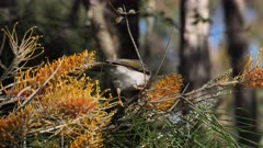 Noisy Miner feeding on  Grevillea flowers, on the alert for intruders, raises head several times, jumps to other flowers, 1 out of 2, close