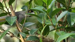 Noisy Miner Breeding, chicks near a week old, adult on nest, jumps out on a limb, another arrives to feed and the previous one take parasites out of the second one,  flee, close
