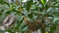 Noisy Miner breeding, chicks 9 days old, three arrive consecutively to feed, one di parasites another, wide