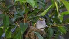 Noisy Miner Breeding, chicks ready to flee, oldest preening on nest, dawn, close