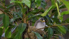 Noisy Miner Breeding, chicks ready to flee, preening,  adult arrives and feeds, dawn, close