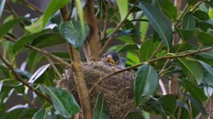 Noisy Miner Breeding, chicks ready to flee, one atanding  on nest's edge, another arrives, gives her a prey and both feed the chicks, leaves.  morning, close