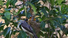 Noisy Miner Breeding, three chicks ready to flee, oldest is exercising, close up