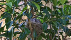 Noisy Miner Breeding, three chicks ready to flee,one is flexing wings and preening, 2 adults arrive to feed consecutively, morning, close up