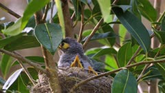 Noisy Miner Breeding, three chicks ready to flee, one is preening and exercising, close up