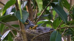 Noisy Miner Breeding, three chicks ready to flee, two chicks preen and flex wings, close up