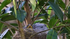 Noisy Miner Breeding, three chicks ready to flee, adults seem to call them out, wide