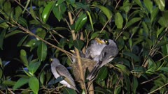 Noisy Miner Breeding, chicks almost out, last day at dawn, first activities, wide