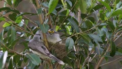Noisy Miner Breeding, chicks almost out, last day in the nest, adult arrives and feeds all the  chicks, slow motion, wide