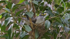 Noisy Miner Breeding, chicks almost out, last day in the nest, chicks stretch in the nest, close