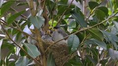 Noisy Miner Breeding, chicks almost out, last day in the nest, chicks wake up to receive preys, several, close up