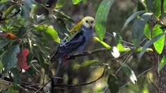 Pale-headed Rosella perched in the bush, windy, backwards, turns to the frfront for the camera, backlighted, late afternoon, wide