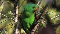 Red-winged Parrot, perched in the forest's shadows, close upPale-headed Rosella perched in the bush, windy, backwards, turns to the frfront for the camera, backlighted, late afternoon, wide