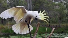 Sulphur-crested Cockatoo perched late afternoon, raises crest, moves to another limb and raises crest again, slow motion