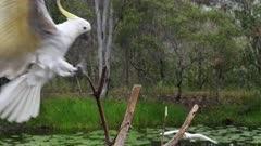 Sulphur-crested Cockatoo,  arrives to a limb  and raises crest, a second arrives, slow motionSulphur-crested Cockatoo perched late afternoon, raises crest, moves to another limb and raises crest again, slow motion