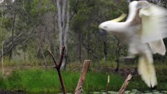 Sulphur-crested Cockatoo,  arrives to a limb  and raises crest, slow motion