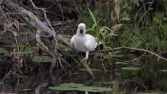 Sulphur-crested Cockatoo, drinking on a pond