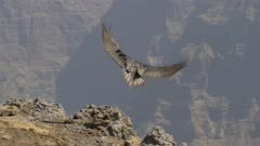 Bearded vulture flying a curve and landing, slow motion