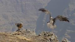 Two bearded vultures landing on rocks, slow motion
