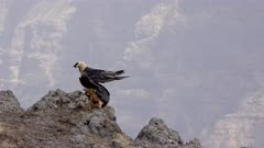 Bearded vulture sitting on rock, another one arriving