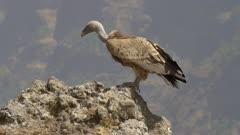 Bearded vulture taking off, griffon vulture landing