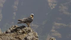 Bearded vulture sitting on rock and leaving, slow motion