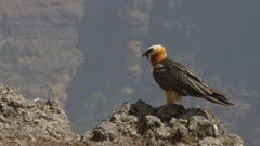 Bearded vulture sitting, watching and flying away