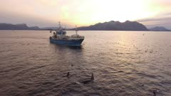 Fishing trawler in North atlantic, group of Orca moving away frim it, 4K aerial travelling shot