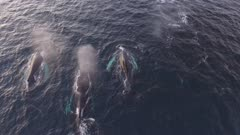 Group of Humpback whales chasing hering in North atlantic, Norway, 4K aerial follow shot