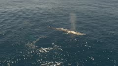 Two fin whales, one dives and the other one surfaces, 4K aerial follow move