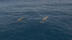 Two sperm whales swim in blue ocean, 4K aerial side follow shot