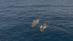 Two sperm whales swim in blue ocean, 4K aerial frontal shot