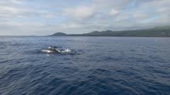 False Orca pod hunts close, 4k gimbal side shot