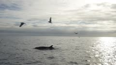 False Orca breaks the surface and dives, with birds following, HD 96fps gimbal backlit side shot