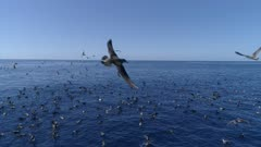 Cory´s Shearwater birds and dolphins hunt bait ball, 4K aerial approach 50fps