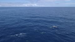 Large pod of Dolphins travel in blue ocean sideways move, 120fps HD aerial