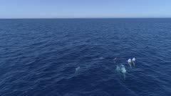 Pod of Risso´s dolphins swim in blue ocean, diving down, 4K aerial