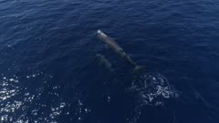 Sperm whales mother with bay dive in blue ocean, top down follow shot 4K aerial