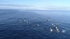 Cory Shearwaters bird and dolphins hunt, 4K aerial