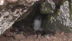 Cory´s Shearwater bird nesting in rocks, medium 4K