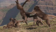Gelada baboon kids playing and jumping